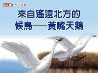 來自遙遠北方的候鳥 [有聲書]:黃嘴天鵝
